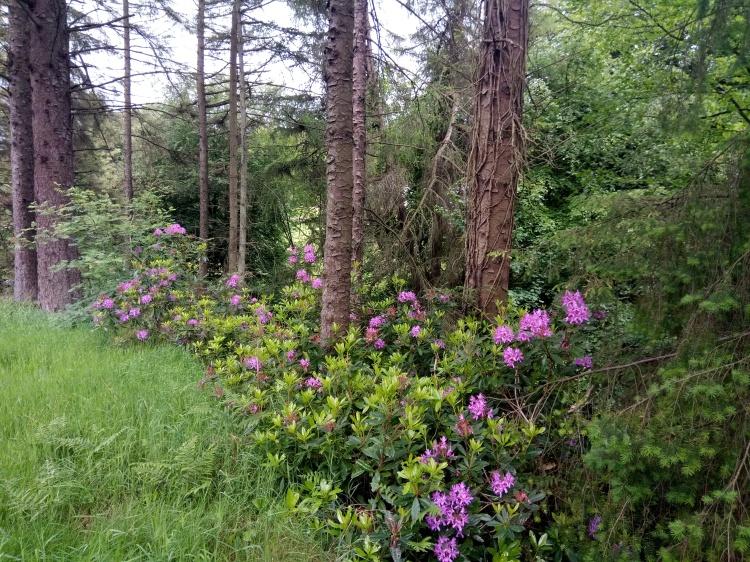 Glenariff Trees.jpg